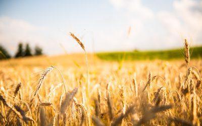 Pomembnost žita